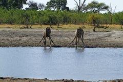 喝与朋友的南部的长颈鹿 免版税图库摄影