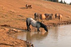 喝与野马牧群的蓝色软羊皮的公马在普莱尔山野马范围的水坑在蒙大拿 免版税库存图片