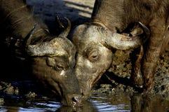 喝二的非洲水牛 库存照片