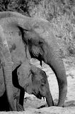 喝从干燥河床的大象 免版税图库摄影