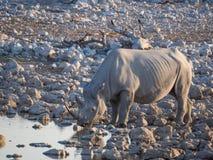 喝从水坑的大危险的黑犀牛画象在埃托沙国家公园,纳米比亚,非洲 图库摄影