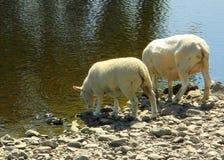 喝从河的两只绵羊 免版税库存图片