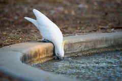 喝从运河的硫磺有顶饰美冠鹦鹉 库存照片