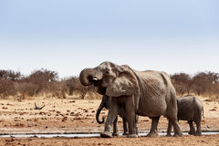 喝在一泥泞的waterhole的非洲大象牧群  库存照片