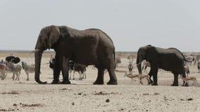 喝在一泥泞的waterhole的非洲大象牧群  股票录像