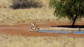 喝在一waterhole的跳羚在纳米比亚 库存照片