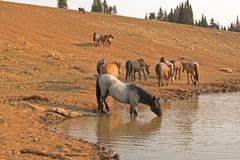 喝在与野马牧群的waterhole的蓝色软羊皮的公马在普莱尔山野马范围的在蒙大拿美国 免版税库存图片