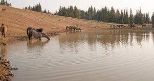 喝在与野马牧群的waterhole的蓝色软羊皮的公马在普莱尔山野马范围的在蒙大拿美国 库存图片