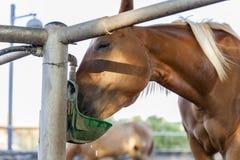 喝在农厂封入物在背景的特写镜头马的马 库存照片