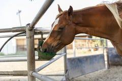 喝在农厂封入物特写镜头的马 免版税库存照片