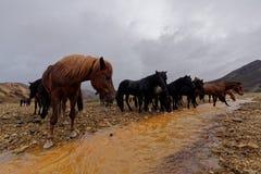 喝在小河,冰岛的马 免版税图库摄影