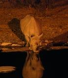 喝在晚上的黑犀牛 免版税库存照片