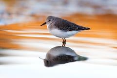 喝在水的美丽的趟水者鸟 库存照片