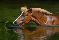喝在池塘的栗色高地小马 免版税库存图片