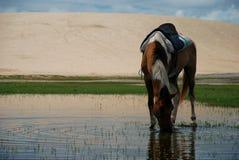 喝在池塘的马。Jericoacoara,巴西 库存照片