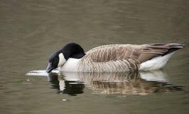 喝在池塘,乔治亚,美国的加拿大鹅 免版税图库摄影