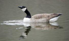 喝在池塘,乔治亚,美国的加拿大鹅 库存照片
