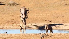 喝在沈默-更加伟大的Kudu -非洲羚羊类弯角羚类 库存图片