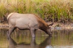 喝在湖的母牛麋 免版税库存图片