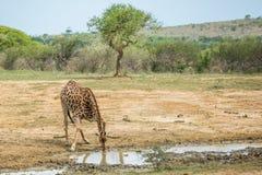 喝在热的天南非的长颈鹿 图库摄影