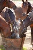 喝在牧场地的马 库存照片