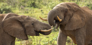 喝在狂放的非洲大象男性 库存图片