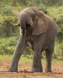 喝在狂放的非洲大象男性 免版税库存照片