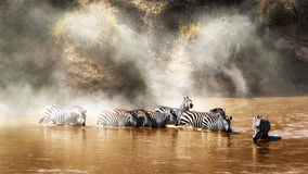 喝在玛拉河的斑马在迁移时 库存图片