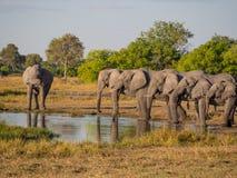 喝在行的大小组非洲大象在金黄下午光, Moremi NP,博茨瓦纳,非洲的waterhole 免版税库存图片