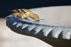 喝在鸟巴恩的美国金翅雀 免版税库存照片