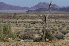 喝在水坑在阵营沙丘附近, Naufluck-Namib国家公园,纳米比亚的跳羚 免版税库存图片