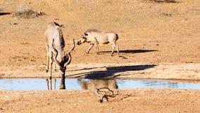 喝在水坝-更加伟大的Kudu -非洲羚羊类弯角羚类 免版税库存照片