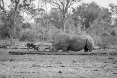 喝在黑白的一头白色犀牛旁边的非洲豺狗 免版税图库摄影