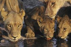 喝在waterhole特写镜头的小组狮子 免版税库存图片