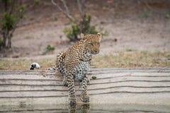 喝在waterhole的豹子 库存图片