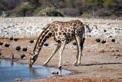 喝在waterhole的长颈鹿 免版税库存照片