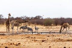 喝在waterhole的长颈鹿camelopardalis和斑马 库存照片