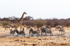 喝在waterhole的长颈鹿camelopardalis和斑马 库存图片