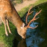 喝奈良的鹿 库存图片