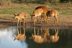 喝水的南非的林羚羚羊 库存图片