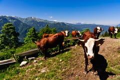 喝牧群水的高山母牛 免版税库存照片