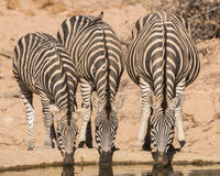 喝的斑马, Balule储备,南非 免版税库存照片