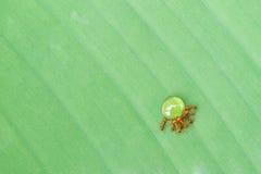 喝糖浆的蚂蚁 免版税库存照片