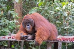 喝从在平台Kum的一个金属碗的巨大的红色猩猩 免版税库存照片