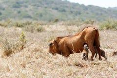 喝从妈妈的婴孩warthog 免版税图库摄影