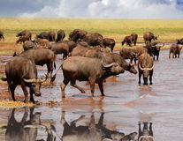 喝从有好反射的卡里巴水库在津巴布韦,南部非洲的Cape Buffalo牧群 图库摄影