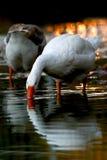 喝从池塘的天鹅 免版税库存图片