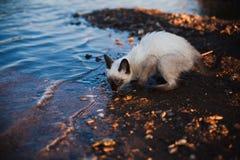 喝从河的猫 免版税库存照片