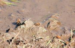 喝从泥泞的池塘的蜂 库存照片
