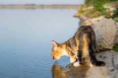 喝从湖的猫 免版税库存照片